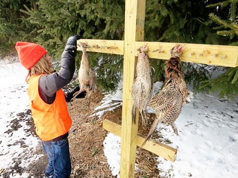 pheasant4-0215