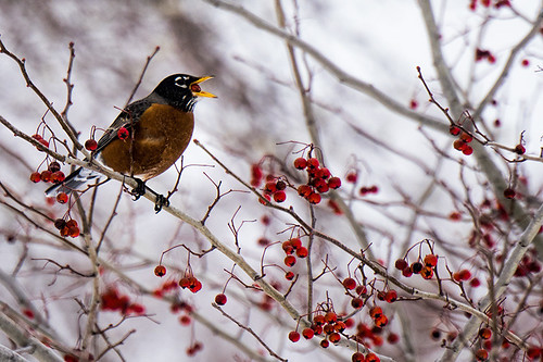 Croton: Winter Robin