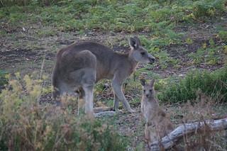 Kangaroo dad and joey