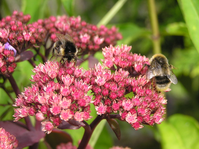 Bumblebees on Sedum 'Purple Emperor'
