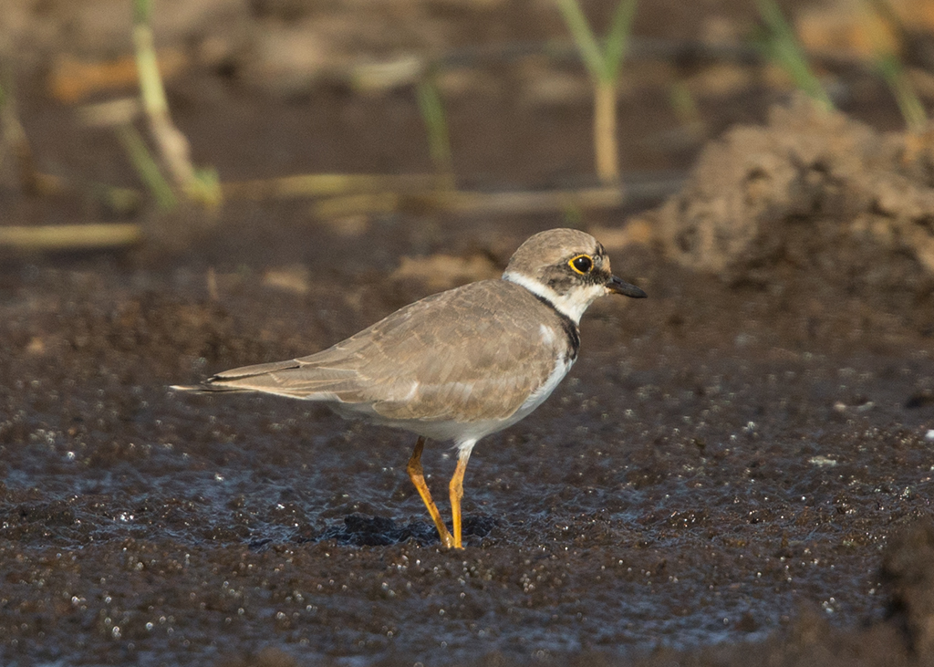 Little Ringed Plover  Gambia