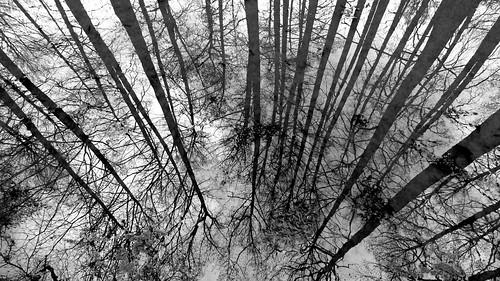 winter bw reflection tree water blackwhite cupressaceae baldcypress taxodium winterreflections