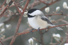 black capped chickadee IMG_1487a