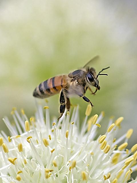 Honeybee Take off over the leek flora