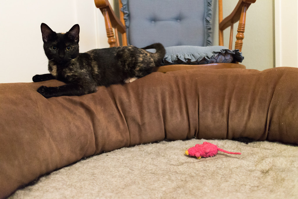 Our cat Trixie plays with a pink mouse on the dog bed