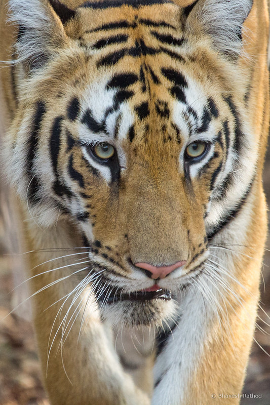 Tigress - Tadoba Andhari Tiger Reserve