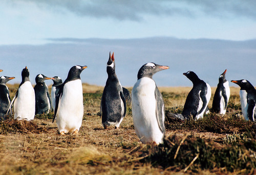 Penguins in the wild. Falkland Islands by Rainbow 1984