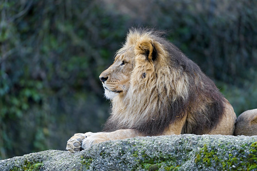 Profile of the male lion by Tambako the Jaguar