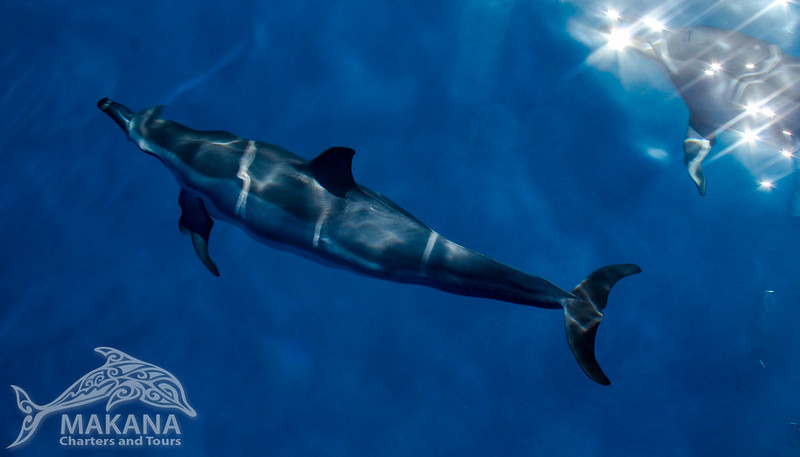 Dolphins on the Na Pali Coast