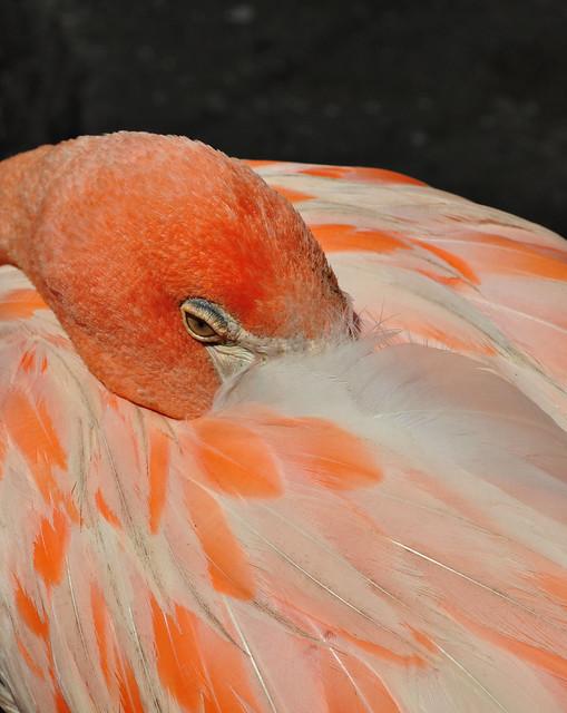 American Flamingo (5)