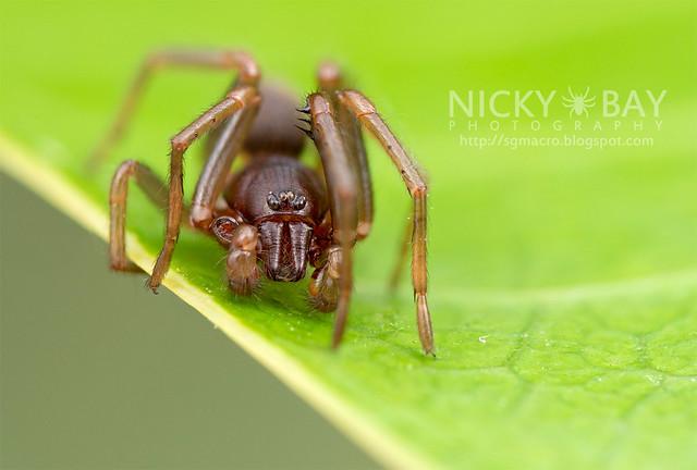 Tube Dwelling Spider (Segestriidae) - DSC_7637
