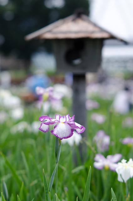 Iris Japanese Garden