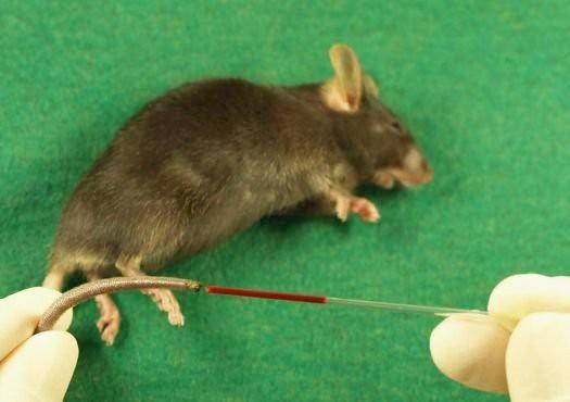 Clonan a un ratón con solo una gota de sangre de su cola