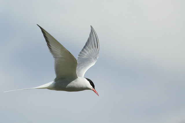 Arctic Tern- Heading Skyward