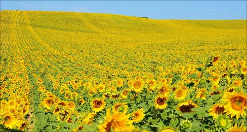 giallo francia provenza girasoli campi nikond3200 valensole