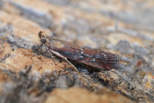 Pempelia obductella