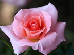 Rose, Warabeuta, バラ, わらべ歌,