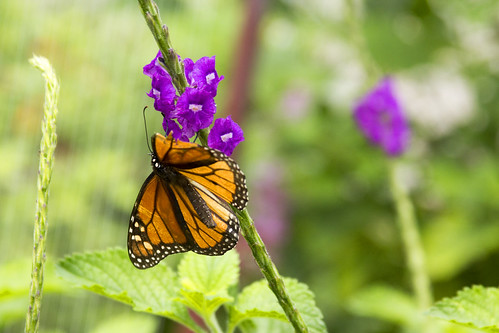 Monarch Butterfly by bahayla