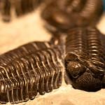 Field Museum - trilobite - Phacops rana milleri - Sylvania, Ohio.jpg