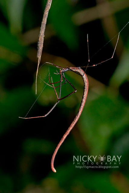 Twig Spider (Ariamnes sp.) - DSC_1911