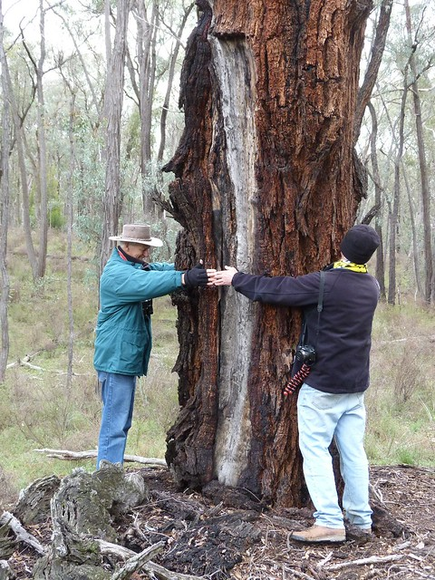 Measuring an Ironbark neil and Phil