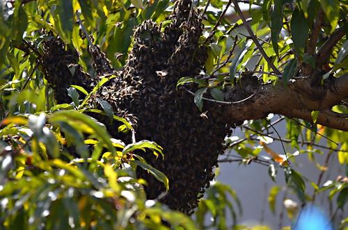 Swarm black bees