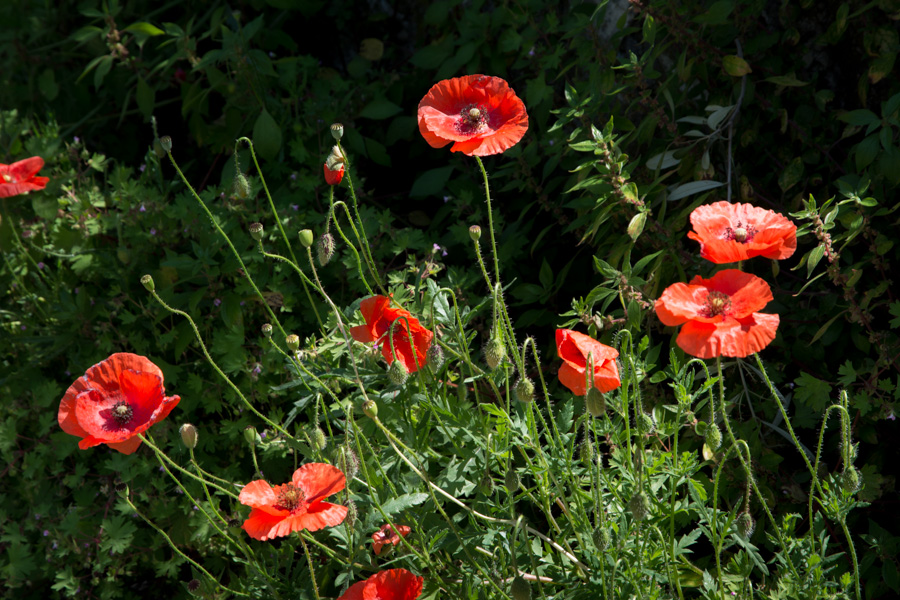 wild red poppies in summer