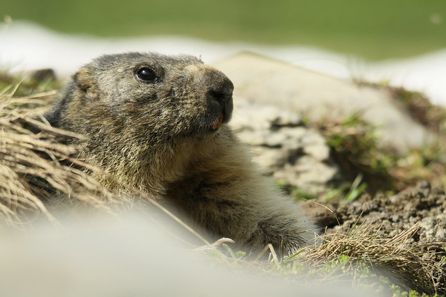 Alpine Marmot- Sitting Pretty