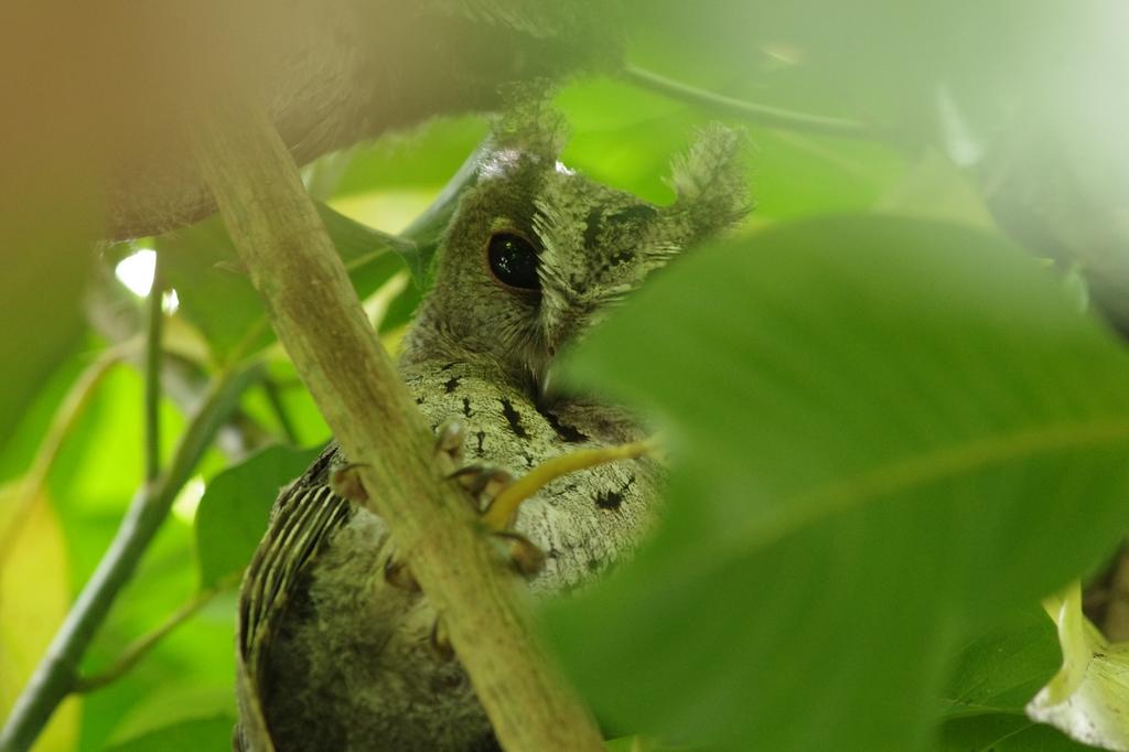 家有嬌客 --領角鴞