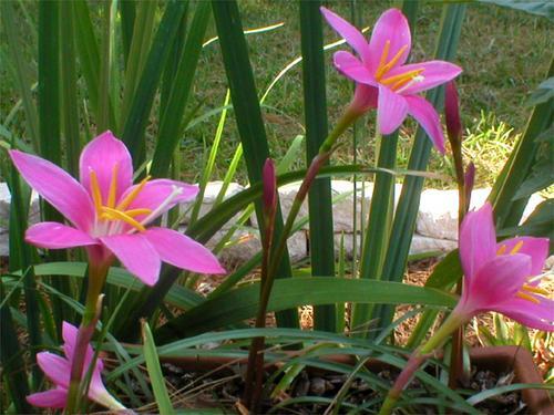 zephyranthes