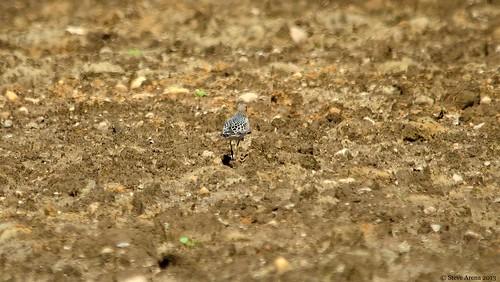 bird richmond rhodeisland migration sandpiper migrant shorebird buffbreastedsandpiper bbsa beaverriverschoolhouseroad