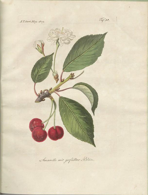 Amarelle mit gefüllter Blüte (hand-coloured botanical engraving courtesy kulturerbe niedersachsen)