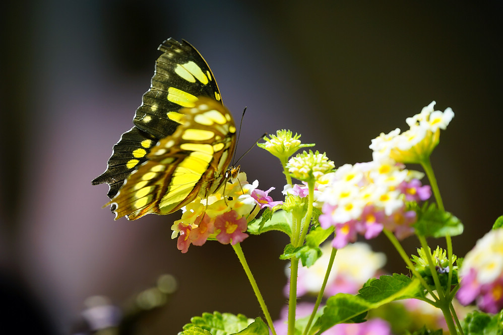 美洲蛺蝶 Siproeta stelenes-1