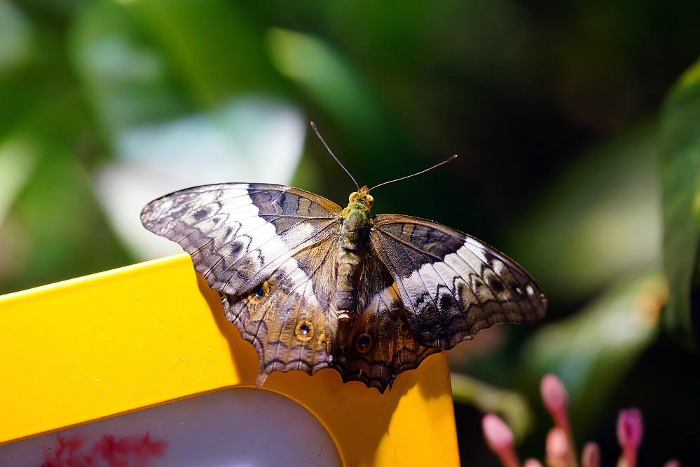 美洲蛺蝶 Junonia-1