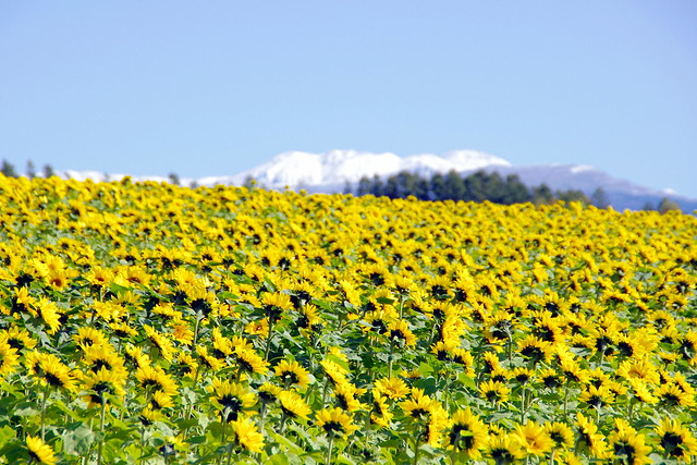 雪山と向日葵畑2
