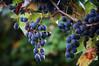 Grape divinity
