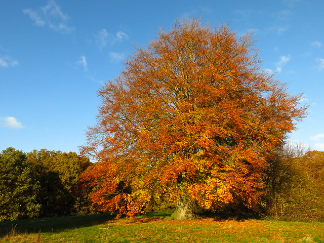 Beech Tree on Lower Cohen's Field