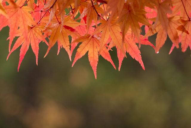 写真_響秋の葉