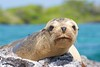 "_DSC5783      ""Galapagos Sea Lion"" ""Leon by ChanHawkins"