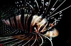 ambonfish0014