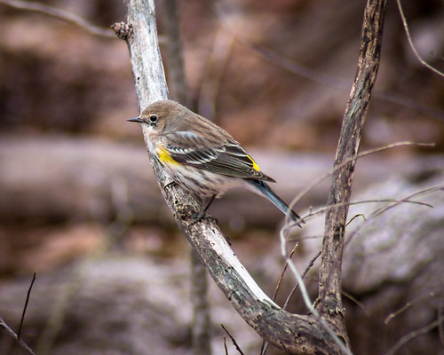 Bird, Yellow Rumped Warbler, Small, Yellow, Warbler