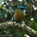 Blue-crowned Motmot (Momotus aequatorialis)