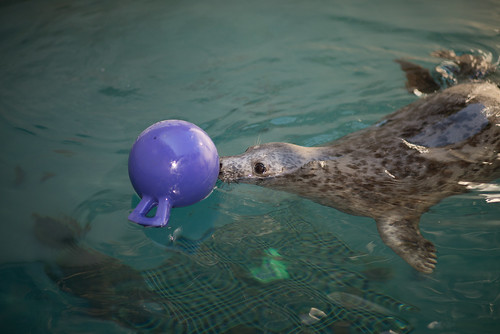 Gray Seal Pup pushing a plastic floating ball with her hose in the water