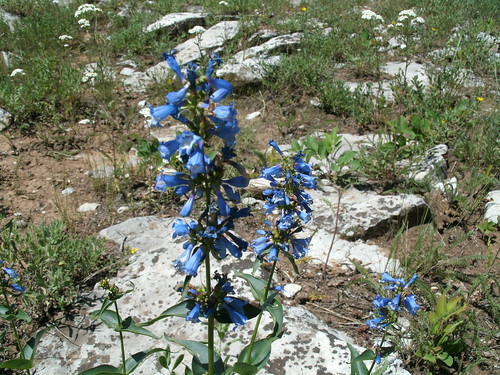 Flat Tops blue flower1