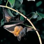 Straw-Colored Fruit Bat