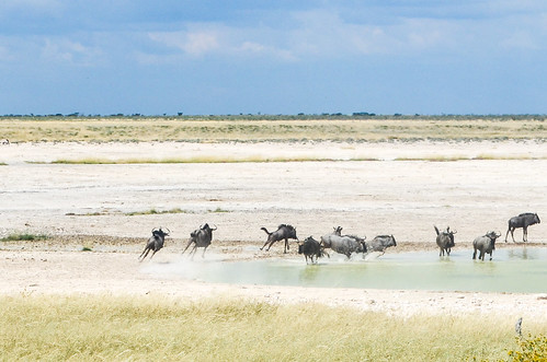 Buffaloes at the waterhole, Etosha NP