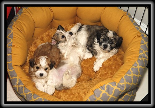 Pip and her brothers at six weeks