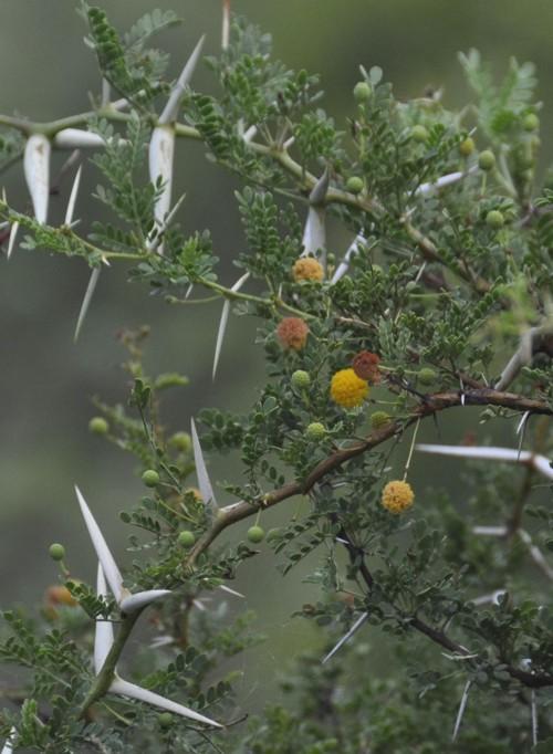 Acacia erioloba 15947586623_bea79c2d5b_o