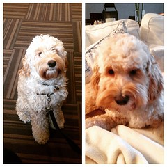 Before and after shot of Archie the #cockapoo. He really needed a cut, thanks @pawtimore !