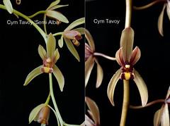 Cym Tavoy 'Semi Alba' vs Cym Tavoy